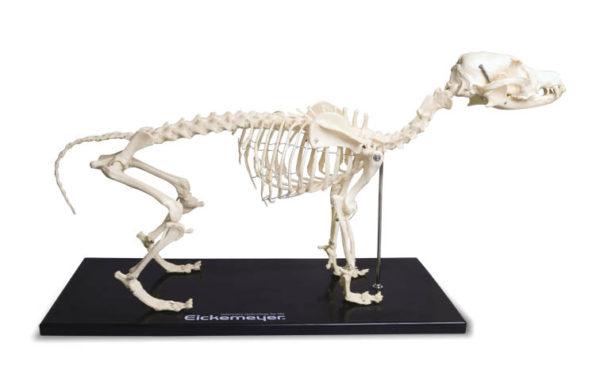 Canine Full Body Skeleton