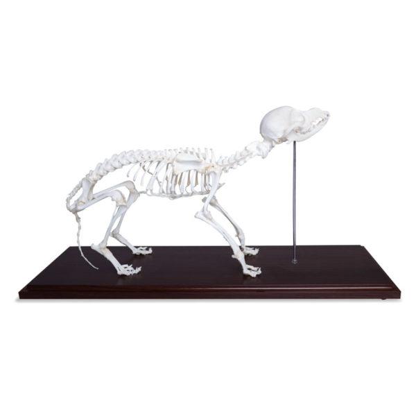 Natrual Bone Canine Skeleton